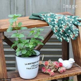 (観葉植物)ハーブ苗 ミント オレンジミント 3号(1ポット) 家庭菜園