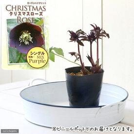 (観葉植物)クリスマスローズ 品種おまかせ 3号(1ポット) 北海道冬季発送不可