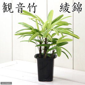 (観葉植物)ヤシ カンノンチク(観音竹) 綾錦 4号(1鉢) 北海道冬季発送不可