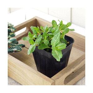 (観葉植物)ハーブ苗 ミント スペアミント 3号(1ポット) 家庭菜園 北海道冬季発送不可