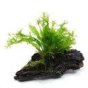 (水草)ミクロソリウム ウェンディロフ 流木 SSサイズ(1本)(約10cm)