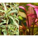 (水草)ポリゴナムsp.レッド(水上葉)(無農薬)(5本)