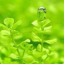 (水草)ラージパールグラス(無農薬)(5本)