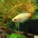 (熱帯魚)ゴールデンハニーレッド・ドワーフグラミー(5匹)