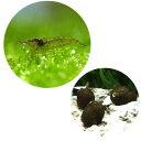 (エビ・貝)コケ対策セット 60cm水槽用 ミナミヌマエビ(10匹) + 石巻貝(10匹)