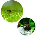 (エビ・貝)コケ対策セット 60cm水槽用 ミナミヌマエビ(10匹) + サザエ石巻貝(6匹)