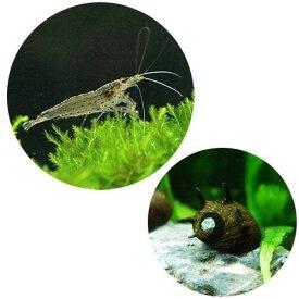 (エビ・貝)コケ対策セット 60cm水槽用 ヤマトヌマエビ(10匹) + サザエ石巻貝(6匹)