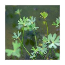 (ビオトープ)水辺植物 フギレデンジソウ(1ポット) 抽水〜浮葉植物
