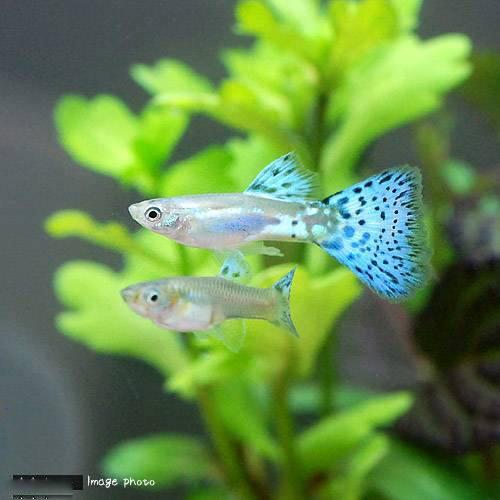 (熱帯魚)ブルーグラスグッピー(国産グッピー)(1ペア) 北海道・九州・沖縄航空便要保温
