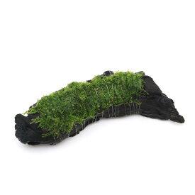 (水草)巻きたて 南米ウィローモス付 流木 Sサイズ(約15cm)(無農薬)(1本)