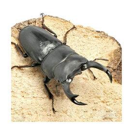 (昆虫)国産オオクワガタ 山梨県韮崎市産 幼虫(初〜2令)(1匹)