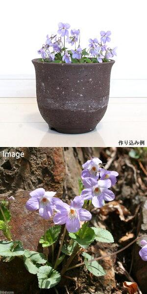 (観葉)山野草タチツボスミレ(立坪菫)3号(1ポット)
