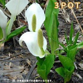 (山野草)ミズバショウ(水芭蕉)特大株 4〜4.5号( 3ポットセット)(休眠株)