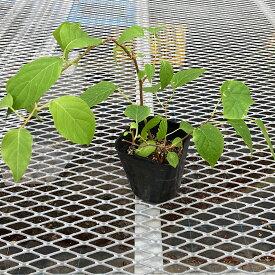 (山野草)盆栽 またたびの苗 4号(1ポット) 家庭菜園