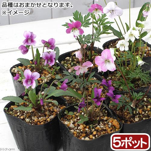 (山野草)スミレ(菫) 品種おまかせ 2〜3号( 5ポットセット) (休眠株)