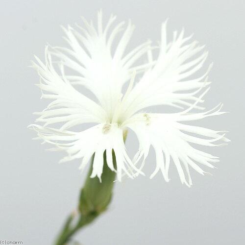 (山野草)白花カワラナデシコ(白花河原撫子) 3号(1ポット) (休眠株)