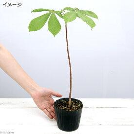 (盆栽)トチノキの苗(栃の木) 苗 4号(1ポット)