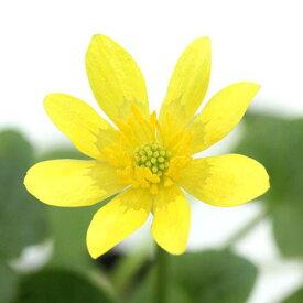 (ビオトープ)水辺植物 姫リュウキンカ(姫立金花)黄系(1ポット)湿性植物(休眠株)