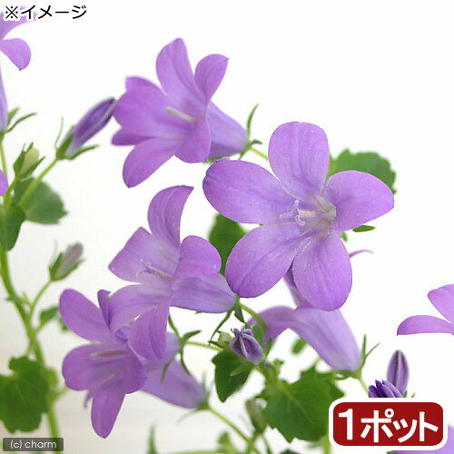 (山野草)オトメギキョウ ベルフラワー(乙女桔梗) 3号(1ポット)
