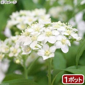 (山野草)コデマリ(小手毬) 3号(1ポット)