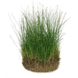 (水草)ヘアーグラス ショート(水上葉)土付き(60cm水槽用)(無農薬)(2シート分)