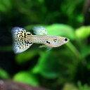(熱帯魚)キングコブラ・グッピー(国産グッピー)(1ペア)