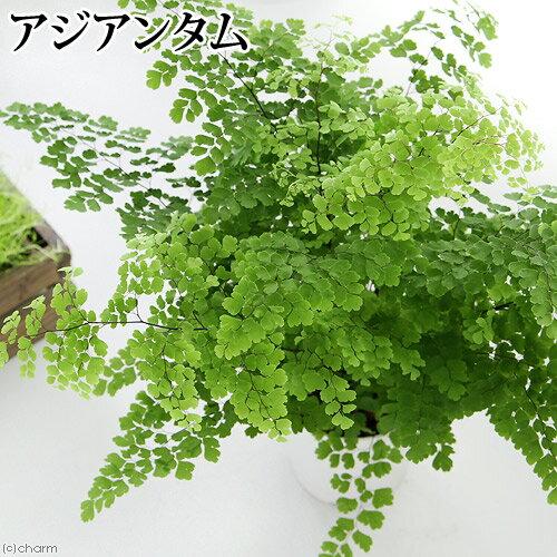 (観葉植物)シダ アジアンタム 4号(1鉢)
