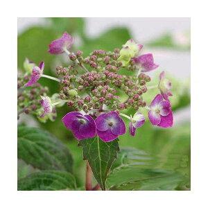 (山野草)盆栽 ヤマアジサイ(山紫陽花) 品種おまかせ 2.5〜3号(1ポット)