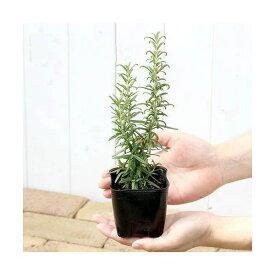 (観葉植物)ハーブ苗 ローズマリー ブルー 立性 3号(3ポット) 家庭菜園