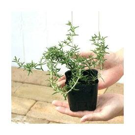 (観葉植物)ハーブ苗 ローズマリー 匍匐性 3号(3ポット) 家庭菜園