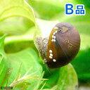 (エビ・貝)(B品)カバクチカノコ貝(3匹) 北海道・九州・沖縄航空便要保温