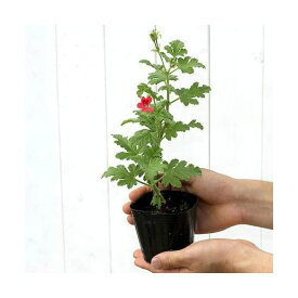 (観葉植物)ハーブ苗 ゼラニウム(品種おまかせ) 3号(1ポット) 家庭菜園
