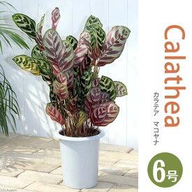 (観葉植物)カラテア マコヤナ 6号(1鉢)