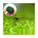 (エビ 水草)ミナミヌマエビ(10匹) + 巻きたて ウィローモスボール 1個