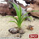 (観葉植物)ペットリーフ アダンの苗 2.5〜4号(無農薬)(3ポット) オカヤドカリ