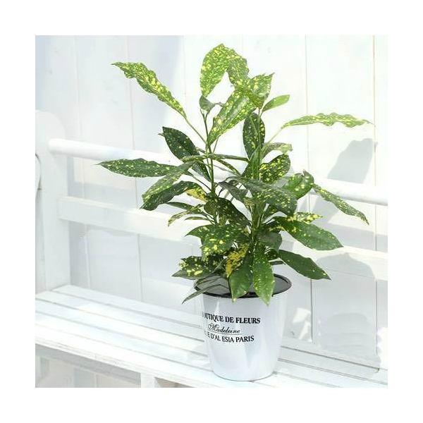 (観葉植物)ハイドロ苗9φ・Lサイズ クロトン アキュビフォーリア(1ポット)