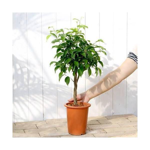 (観葉植物)フィカス ベンジャミン(スタンダード仕立て) 5号(1鉢)