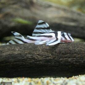 (熱帯魚)インペリアルゼブラプレコ Mサイズ(ワイルド)(1匹) 沖縄別途送料 北海道・九州航空便要保温