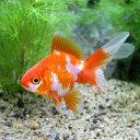 (国産金魚)更紗琉金(サラサリュウキン)(1匹)