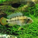 (熱帯魚)アピストグラマsp.Inka−50(ワイルド)(1ペア) 北海道・九州・沖縄航空便要保温