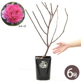 (観葉植物)バラ苗 ロサ・オリエンティス シェエラザード  6号(1鉢)