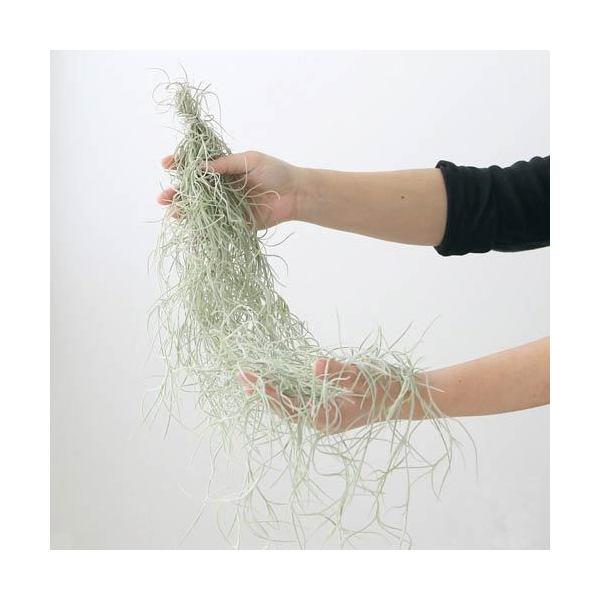 (観葉植物)エアープランツ ティランジア ウスネオイデス 太葉タイプ Lサイズ(1束分) 北海道冬期発送不可