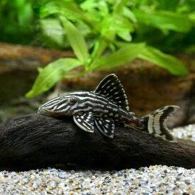 (熱帯魚)ゴールデンサンダーロイヤルプレコ Sサイズ ジャマンシン産(1匹) 沖縄別途送料 北海道・九州航空便要保温