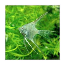 (熱帯魚)ベールテール・エンゼルフィッシュ(国産ブリード)(1匹) 北海道・九州航空便要保温