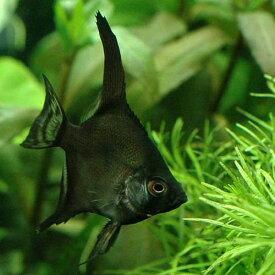 (熱帯魚)ブラック・エンゼルフィッシュ(国産ブリード)(1匹) 北海道・九州航空便要保温