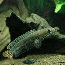 (熱帯魚)レインボースネークヘッド(1匹)