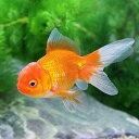 (国産金魚)オランダ獅子頭/オランダシシガシラ(1匹)