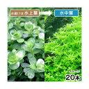 (水草)グリーンロタラ(水上葉)(無農薬)(20本)