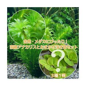 (水草)メダカ・金魚藻 国産 無農薬アナカリス(5本) +おまかせ浮き草3種(無農薬)(1株)