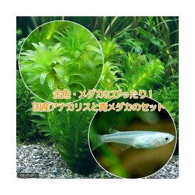 (めだか)(水草)メダカ・金魚藻 国産 アナカリス(無農薬)(5本) +青メダカ(6匹) 北海道航空便要保温